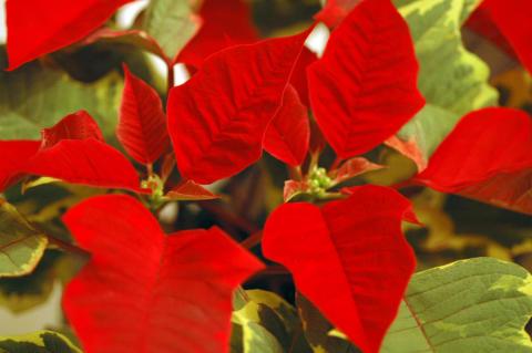 Julstjärna Red Tapestry