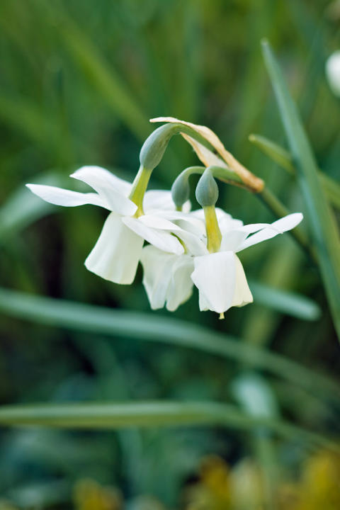 Orkidénarciss, Narcissus (Triandrus-Gruppen) 'Ice Wings'