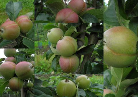 Tuff säsong för fruktodlarna på Österlen och runt Kristianstad