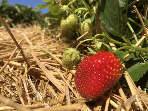 Fira med svenska jordgubbar!