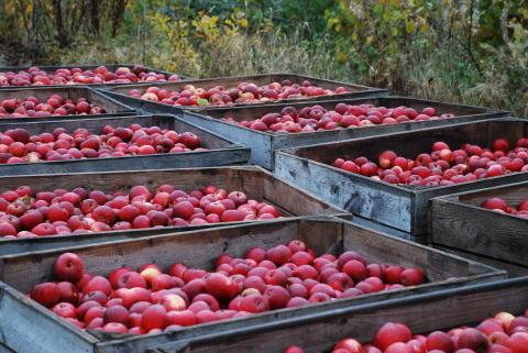Harvest of apples in September