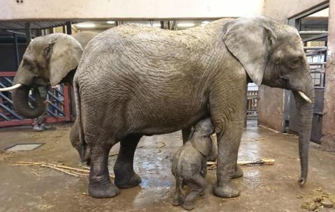 Elefantkalven på Borås Djurpark har börjat dia