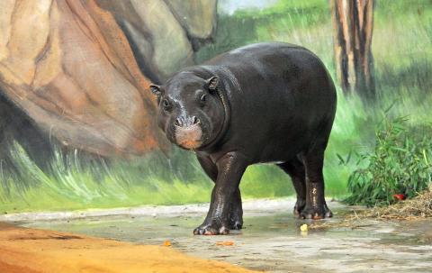 Zwergflusspferd Onong