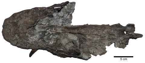 Skull of Lagenanectes richterae