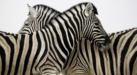 African Tours & Safaris Zebra