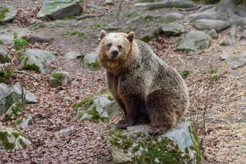 En mild vinter håller björnen Ester vaken