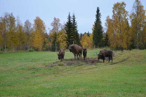 Avesta kommuns visentpark levererade visentfamilj till finländska Kuusamo