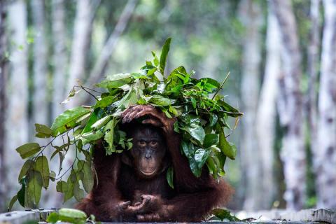 En orangutang bygger ett paraply mot regnet. Foto: Johan Lind/N.