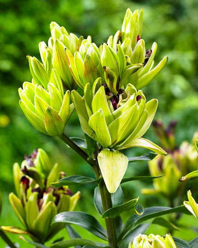 "Lilja ""Mystery Dream"" – Lilium asiaticum"