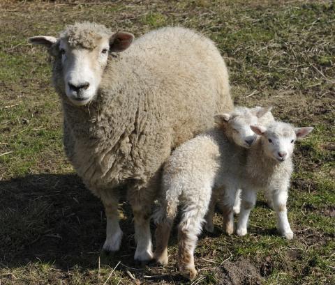 Hils på de nyfødt lam. Der er åbent på Frilandsmuseet i påskedagene