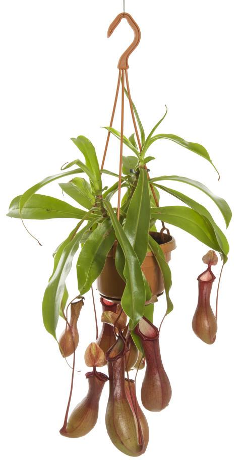 Kannranka Nepenthes