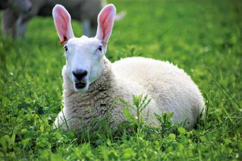 Brasiliansk fåravelsexpert revolutionerar svensk fåruppfödning