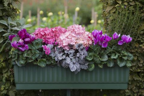 Balkonglåda med massor av rosa!