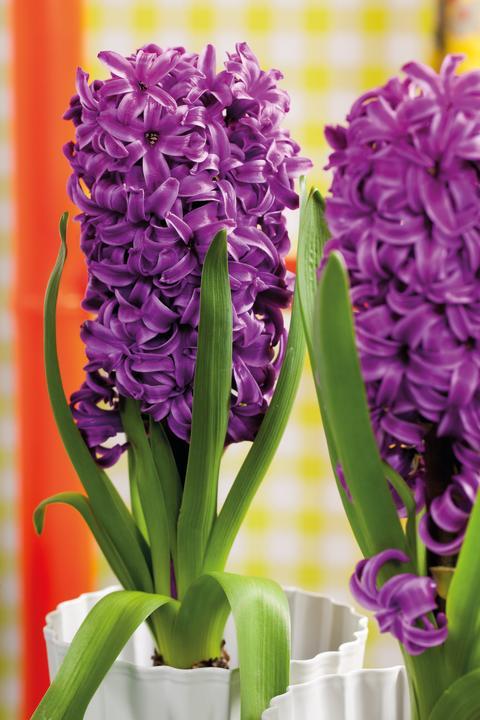Lila hyacinter i närbild