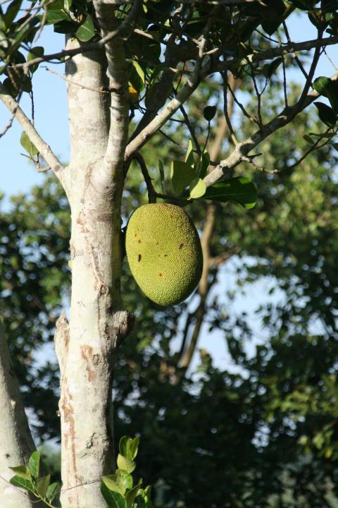 Fruktträd till Kambodja
