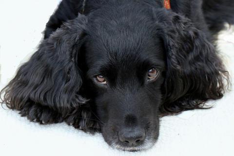 Öroninflammation hos hund