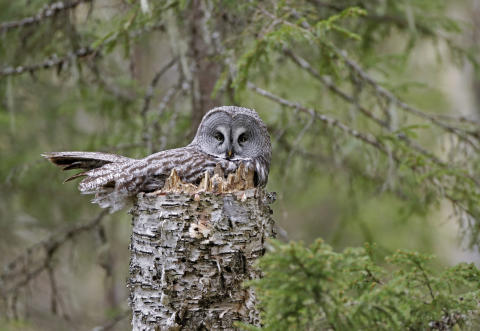 EOS 90D_MARKUS_VARESVUO_SAMPLE_Great Grey Owl _1206