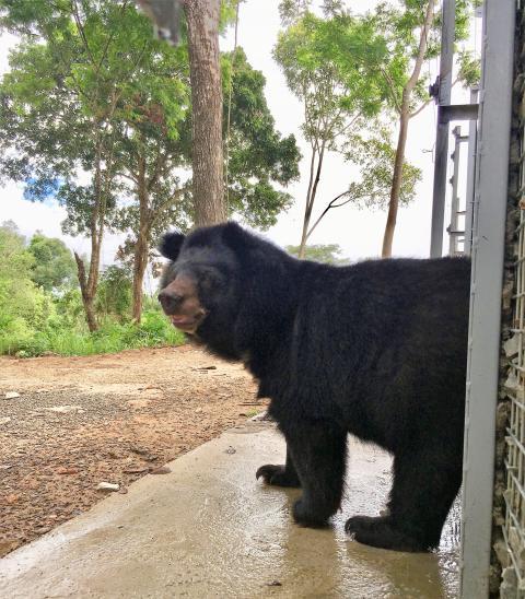 Nach anfänglicher Scheu erkundeten die Bären schnell ihre neue Umgebung im tropischen Regenwald Vietnams.