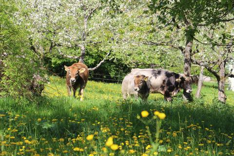 «Die Minipigs haben den Boden gut durchwühlt». Im Goetheanum-Gartenpark waren neu Minipigs zu Gast