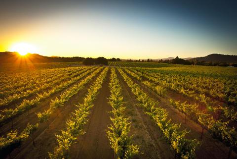 Foppiano Vineyards i solnedgång.