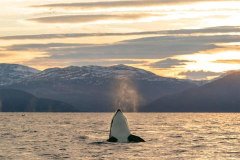 Den arktiske essensen
