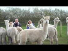 Superfast fibre makes a world of difference to Cumbrian alpaca farm