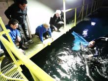 Jättegitarrfisk simmar i Universeums oceantank