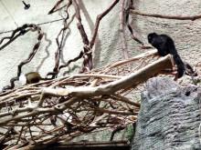 Utsläpp av tvåfärgad tamarin
