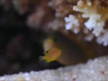 Korallrevens död hindrar fiskar från att lära sig känna igen farliga rovdjur