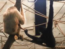 Vitkindad gibbonunge född i Parken Zoo