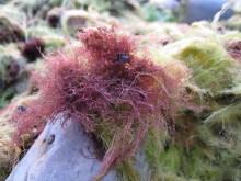 Fintrådiga alger producerar giftiga bromerade ämnen