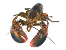 HaV vill se importstopp för levande amerikansk hummer