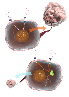 EU-kommissionen godkänner Caprelsa® (vandetanib) för patienter med framskriden medullär sköldkörtelcancer