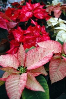 Sju blommande stämningsskapare som ger en fröjdefull jul