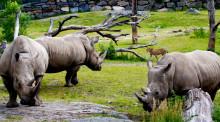 Noshörningar och geparder tillsammans