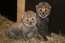 Gepardungarna 080624
