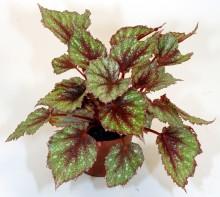 Månadens Blomma – januari 2007 - bladbegonia och cineraria