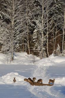 Rådjuren behöver hjälp att klara vintern