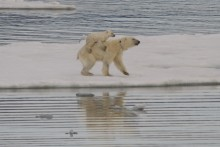 """Isbjörnsungar """"liftar""""på mammans rygg"""