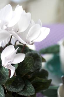 Månadens blomma – december 2009