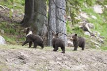 Fler björnar ute