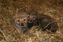Gepardungarna 080610