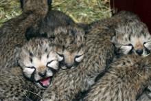 Rekordmånga gepardungar födda i Borås Djurpark