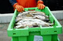 HaV spårar fisk från hav till butik