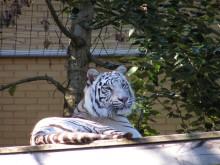 Vita tigerhonan Sasha svårt skadad