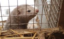 När ska pälsdjursbranschen ta sitt ansvar?