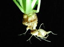 Klumprotparasit på kål genetiskt klarlagd