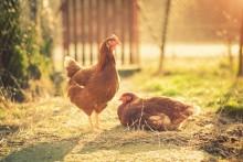 Endast ägg från frigående höns