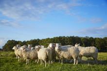 Fråga efter svenskt lamm i påsk!