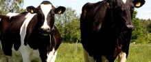 Potential att tjäna 30 öre mer per kg mjölk genom 6 enkla nyckeltal
